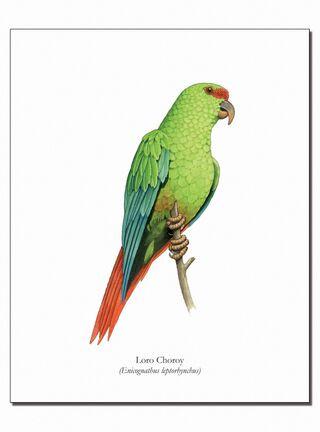 Lámina Ilustrativa Loro Choroy 20 x 25 cm Andes1,,hi-res