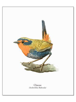 Lámina Ilustrativa Chucao 20 x 25 cm Andes1,,hi-res