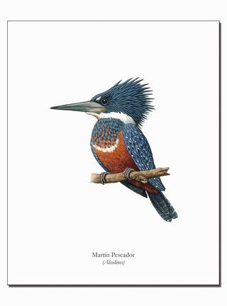 Lámina Ilustrativa Martin Pescador 20 x 25 cm Andes1,,hi-res